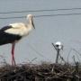 Gniazdo bociana - podgląd na żywo <a href='http://bociany-online.pl'><b>bociany-online.pl</b></a>