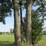 Mikicin - Wielki drewniany krzyż pomiędzy jesionami