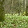 Wiosenny dywan zawilców z omszonymi pniami drzew tworzą wyjątkową kompozycję.