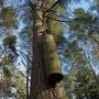 Przy ścieżce biegnącej skrajem lasu wokół Silvarium napotkamy takie oto dziwne drzewo. Wisząca na sośnie wielka kłoda to zabezpieczenie barci pszczelej wydrążonej w pniu przed niedźwiedziem.