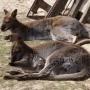Niedawno odkryłem nowych mieszkańców Howien -parkę kangurów z maluchem w torbie.