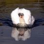 Łabędź bojowo nastawiony strzeże swojej wybranki wygrzewającej się nieopodal w jesiennych promieniach słońca.