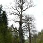 Na początku trasy wita nas Dąb Giedymin (Obwód: 440cm, wysokość: 27m, wiek: około 350 lat). Za nim 100 lat młodszy Dąb Witold.