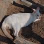 Kangur albinos.