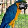Papuga Ara Ararauna.