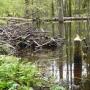 Charakterystycznie ścięte młode drzewo wskazuje obecność w tym rejonie bobrów.