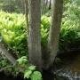 Miejsce gdzie upodobały sobie paprocie nad strumieniem Kulikówka chronią wysokie pokrzywy i bujna zieleń.