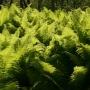Takie piękne okazy paproci- pióropusznika strusiego rosną blisko szosy, nad malowniczym strumieniem Kulikówka.
