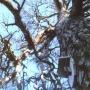 Jak widać na zdjęciu zrobionym w 1989roku Święta Sosna miała już suche gałęzie, pień jeszcze był ubrany w korę.