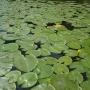 Liście grążela żółtego tworzą malownicze zielone dywany na wodzie.