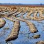 Niczym zagony na polu układają się ścięte trzciny na rozlewiskach Narwi.