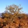 Suche drzewo pokryte porostami wygląda jakby rosło na afrykańskiej sawannie.