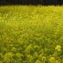 Po drodze z Białegostoku do Kruszewa mijany piękne pola rzepaku.