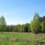 Wysoki świerkowy las w wielu miejscach otoczony jest brzozowym drzewostanem, który swoją jasną wiosenną zielenią pięknie odbija się na tle ciemnej puszczy.