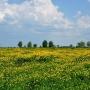 W maju podmokłe tereny wokół rzeki Narew pokrywają się niemal po horyzont żółtymi jaskrami. Warto tam być o tej porze roku, choćby dla takich widoków.
