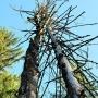 Uschnięte drzewa wydają podtrzymywać się nawzajem.