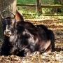 Żubroń- ciekawostka w rezerwacie, jest mieszańcem (hybrydą) żubra i bydła domowego.
