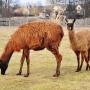 Kolejne sympatyczne zwierzęta spacerujące po gospodarstwie.