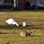 Gdzie można zobaczyć obok siebie łabędzia, gęś i królika? Oczywiście w Majątku Howieny.