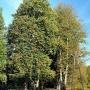 Stare drzewa wyznaczają dawną aleję parkową.