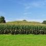 Dojścia do grodziska skutecznie strzeże wysoka kukurydza.